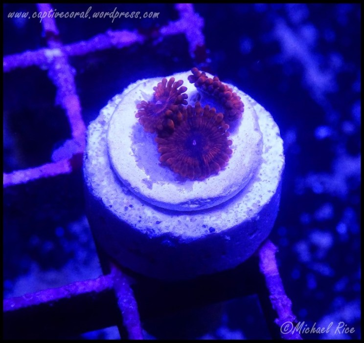 zoanthids2014-12-27 04.11.29