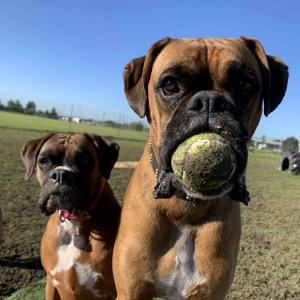 Boxer dog holding a tennis ball