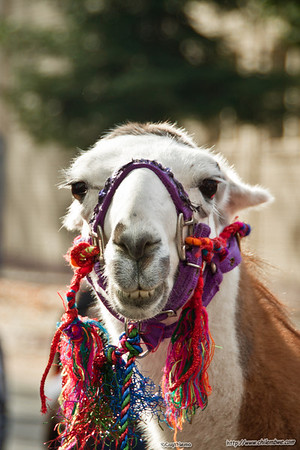 llamas love parades!