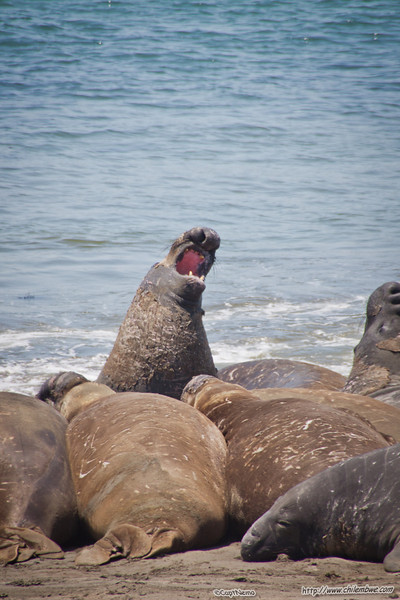 Its hot over hear Elephant seal near San Simeon