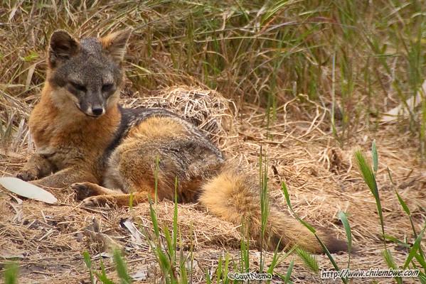 Santa Cruz Island Fox (Urocyon littoralis ssp. santacruzae)