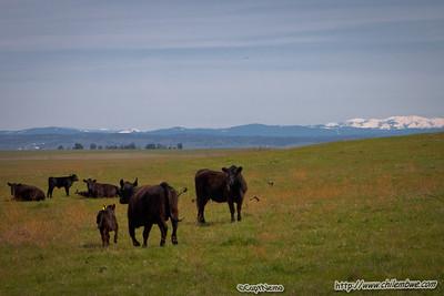 Moooo cows