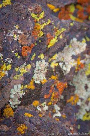 colorful lichen