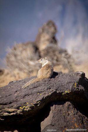 ground squirrel on lava