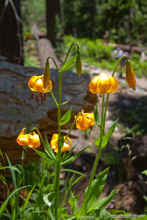 Kelley's lily.(Lilium kelleyanum) along the trail.