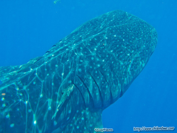 Whale Shark passing beneath me