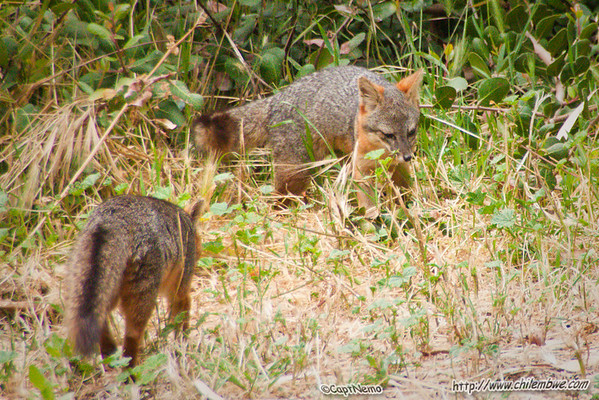 Chanel Island foxes