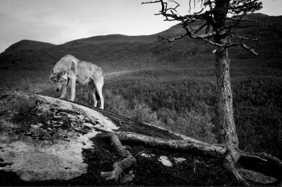 christian_hogue_wolves