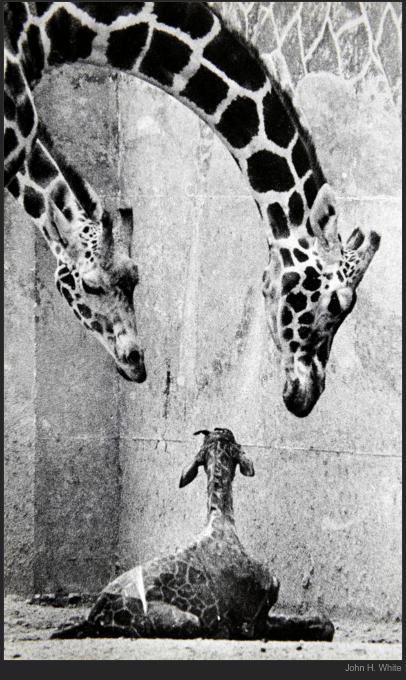 nytl_giraffe_parents
