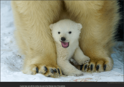nytl_polar_bear_cub
