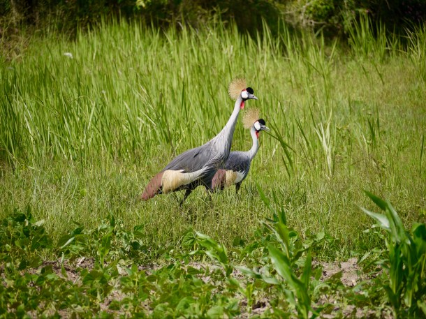 Cranes - Uganda's National Bird