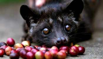 Información imprescindible sobre el café más caro del mundo, el Kopi Luwak