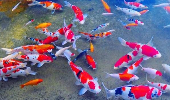 Ciri dari Ikan Koi Yang Sehat