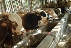 Peluang Usaha Peternakan: Usaha Ternak Sapi