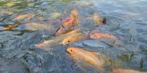 peluang Ternak Ikan Modal Kecil