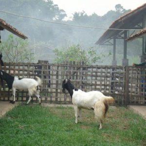 peluang bisnis ternak kambing