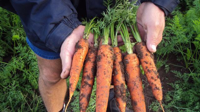 wortel organik