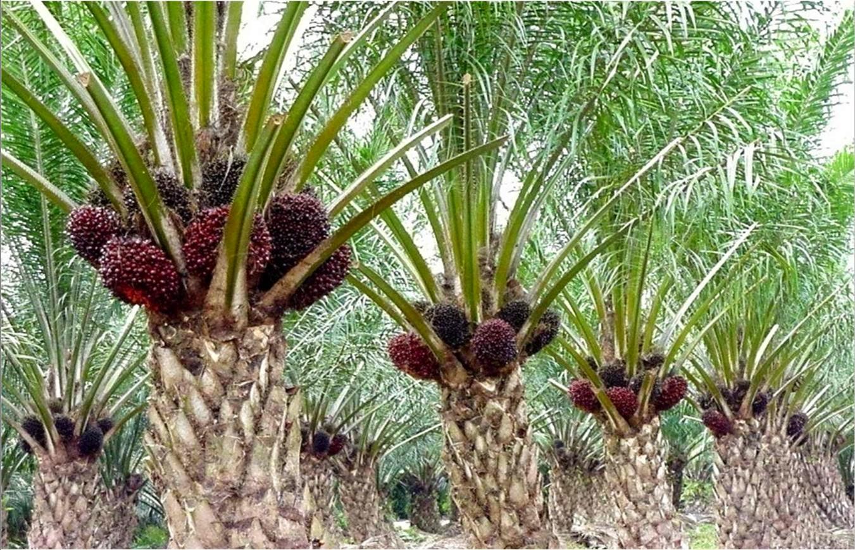 bisnis kelapa sawit
