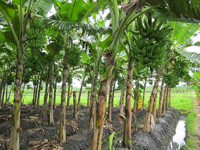 analisa budidaya pisang