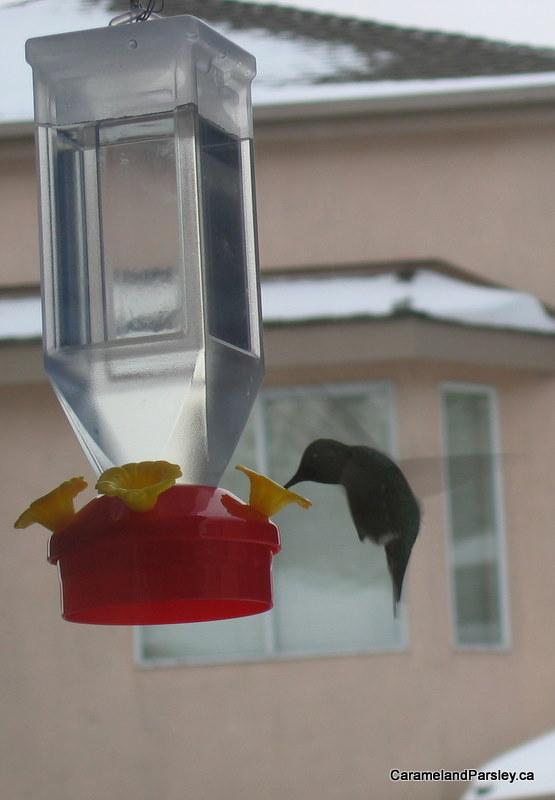 Anna's Hummingbird at feeder