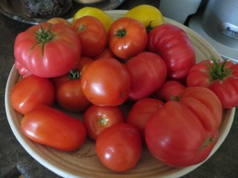 Daily pickings mid summer tomatoes