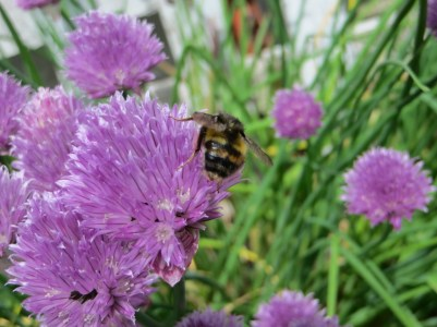 Bees love chive flowers
