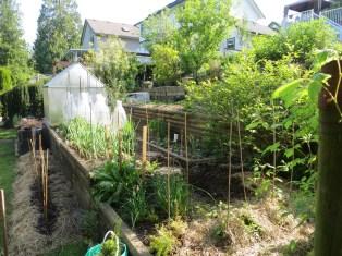 Hay mulch on tomato transplants