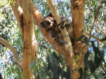 Sleepy Koala has a select gum leaf diet