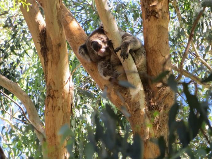 Sleepy Koala has a select gum leaf diet