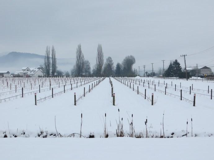 Local blueberry field winter