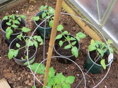 Tomato transplants in greenhouse
