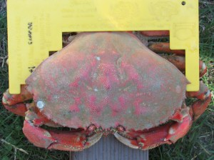 Legal size Dungeness crab
