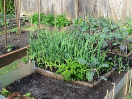 Original raised bed gardens 2008