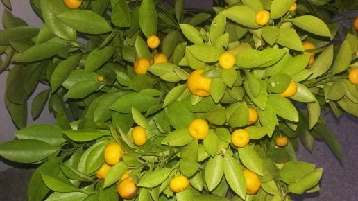 Kumquat in early Spring