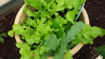 Greens in container