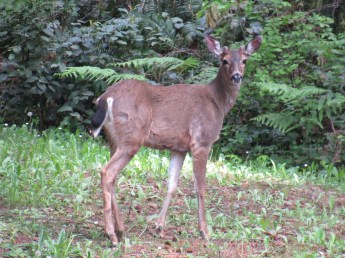 Deer - a frequent sight throughout B.C