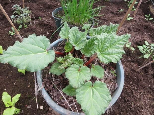 Rhubarb - 1st edible vegetable in greenhouse