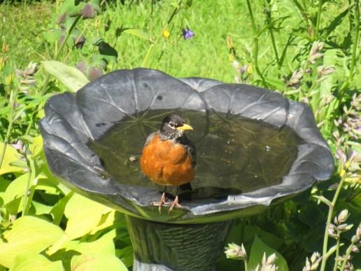 Robins love their bird baths