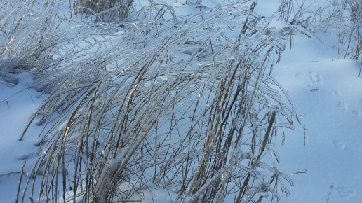 Grasses still standing all frozen
