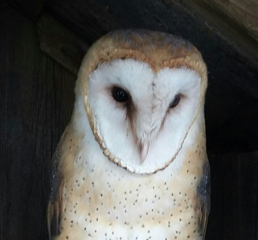 Barn Owl - endangered species
