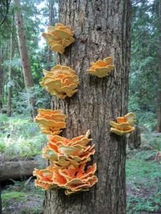 Fungi - temperate rain forest West Coast