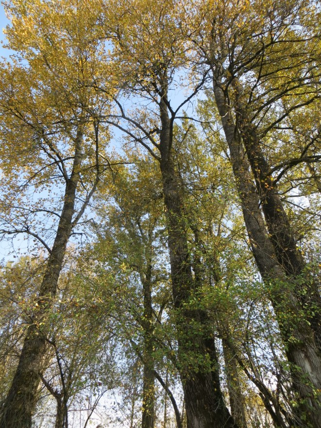 There are over 50 species of native trees in BC