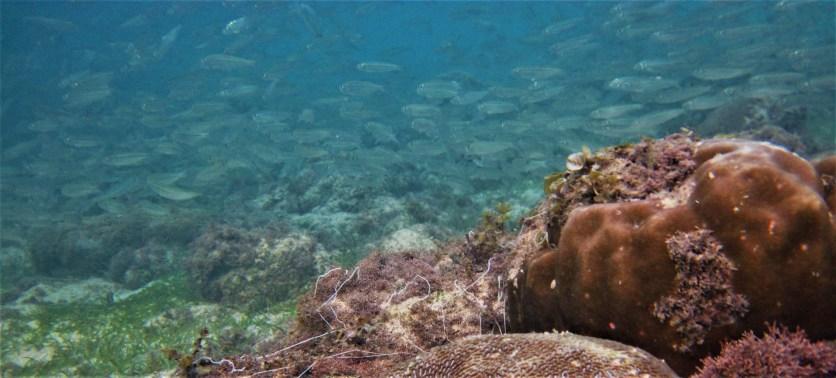 Sardines schooling near shallow corals