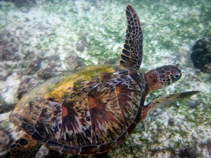 Beautiful green sea turtle