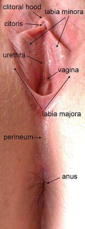 female sexual anatomy Clitoris and Inner Labia