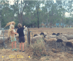 GinGin Sheep