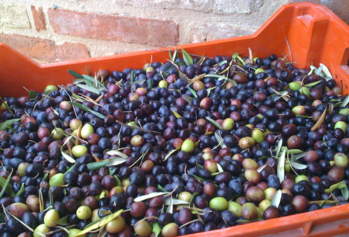 our newly picked olives