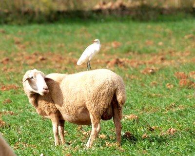 espulgabous amb ovella