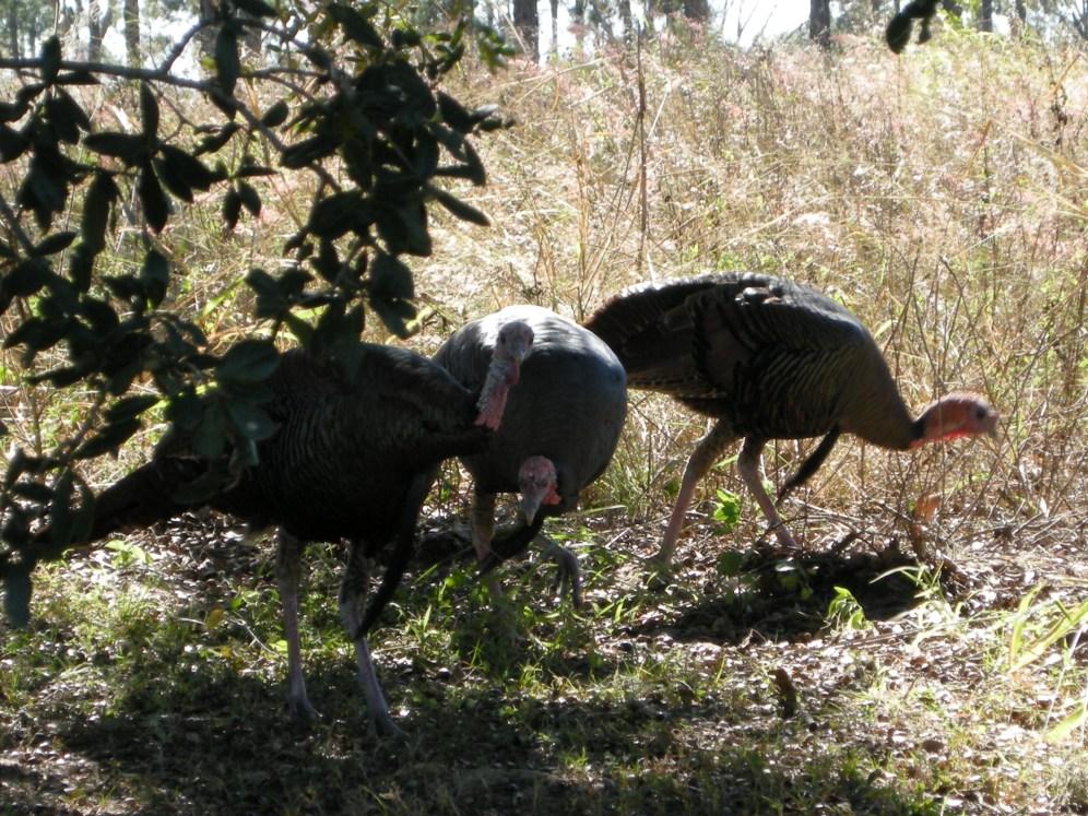 A flock of five wild turkeys walked buy near the exit