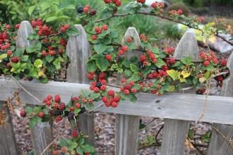 Blackberries, thornless.